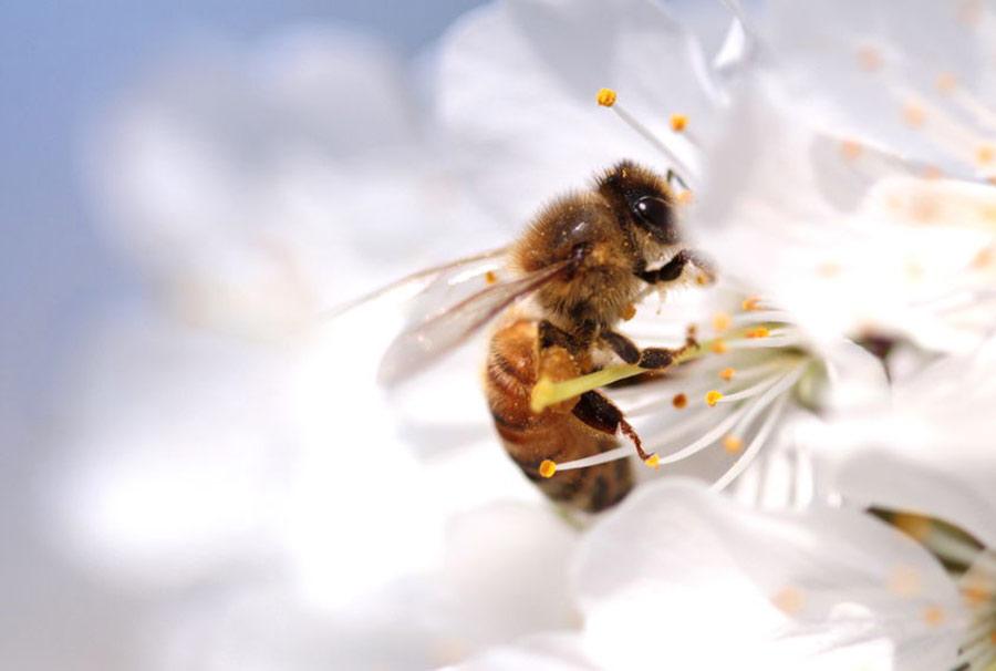 Bie blomst